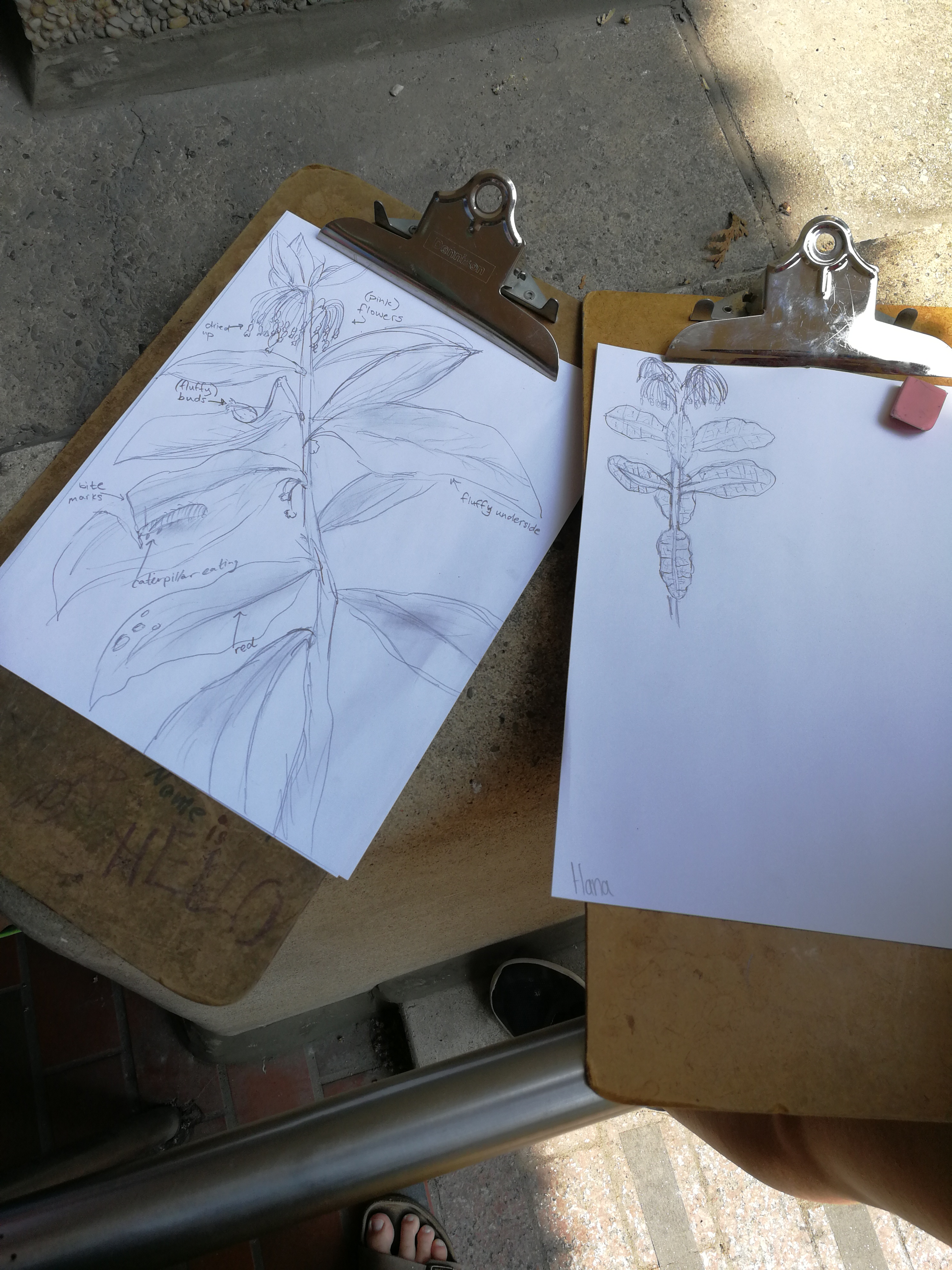 drawing milkweed 1