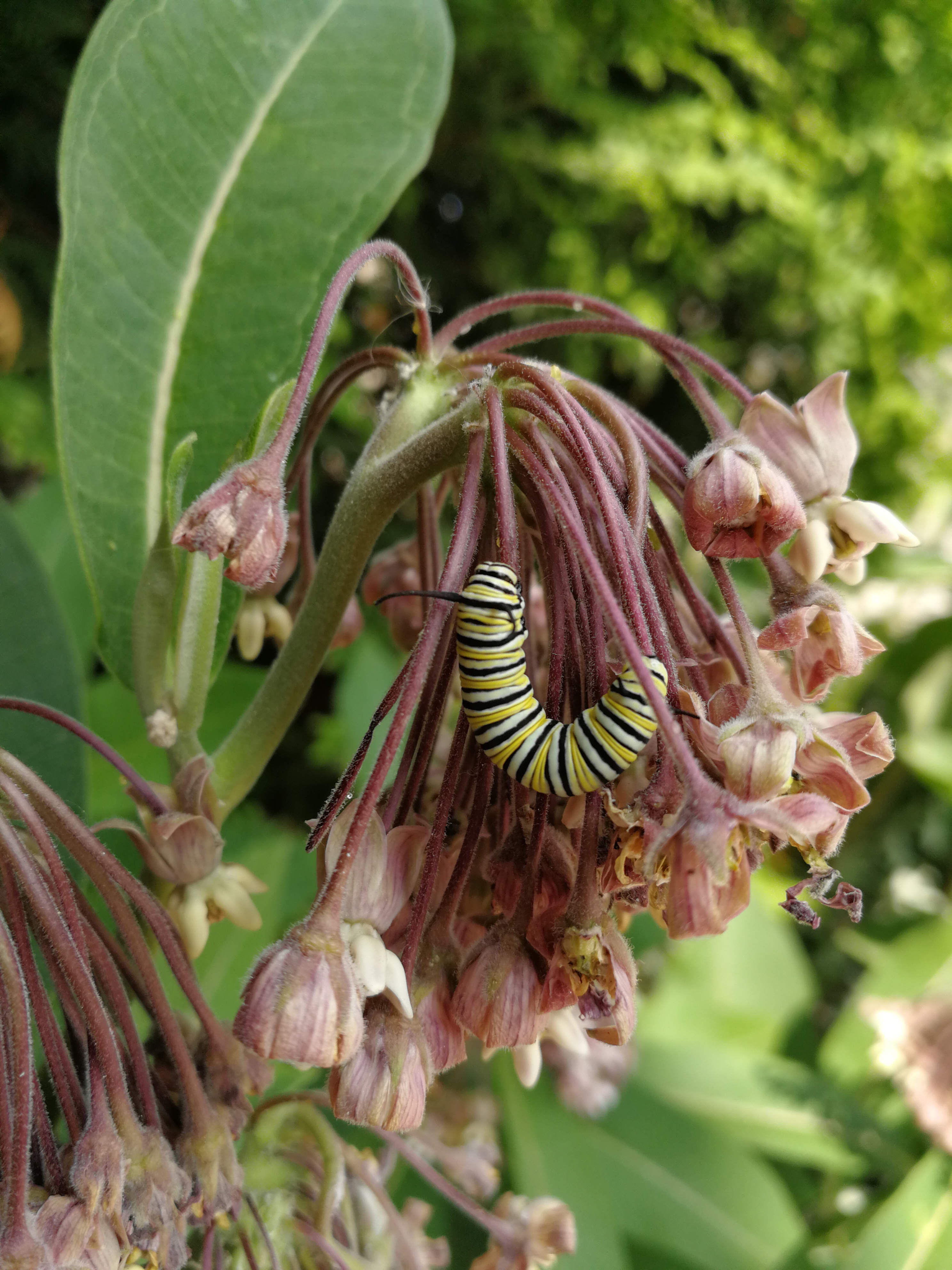 Milkweed Monarch Caterpillar