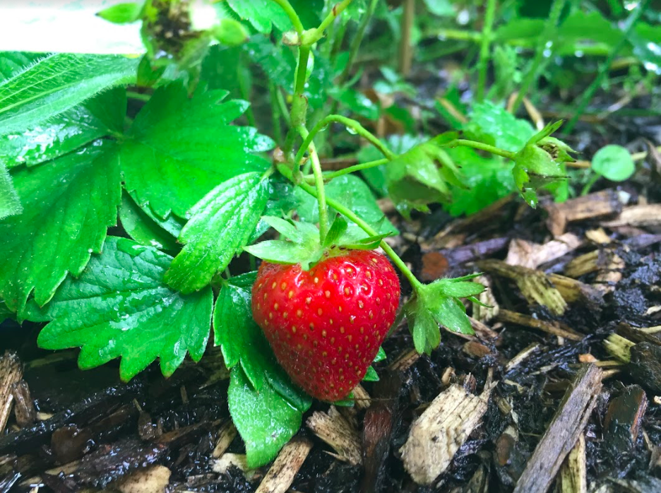 Strawberry Plant in Fruit at OISE Learning Garden